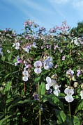 Impatiens Flowers Photos - Himalayan Balsam (impatiens Glandulifer) by Cordelia Molloy