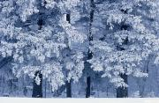 Mike Grandmailson - Hoarfrost On Trees I...