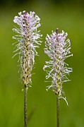 Hoary Prints - Hoary Plantain (plantago Media) Print by Bob Gibbons