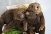 Sloth Photo Posters - Hoffmanns Two-toed Sloth Choloepus Poster by Suzi Eszterhas