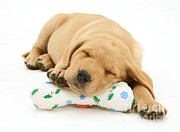 Sleeping Dog Prints - Holiday Lab Print by Jane Burton
