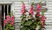 Hollyhocks Prints - Hollyhocks Print by Bruce Morrison