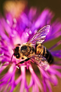 Weed Photo Metal Prints - Honey bee  Metal Print by Elena Elisseeva