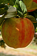 Ripened Fruit Prints - Honey Crisp Print by Susan Herber