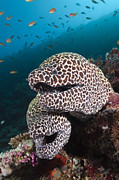 Featured Art - Honeycomb Moray Eel Pair Male Atoll by Reinhard Dirscherl