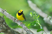 Wood Warbler Framed Prints - Hooded Warbler Framed Print by Alan Lenk