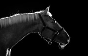 White Horse Prints - Horse Print by Arman Zhenikeyev - professional photographer from Kazakhstan