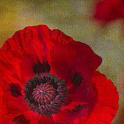 Red Flower Posters - Hot Poppy Poster by Rebecca Cozart