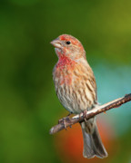 Carpodacus Mexicanus Photo Posters - House Finch Poster by Betty LaRue