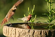 Carpodacus Mexicanus Photo Posters - House Finch Poster by Jack R Brock