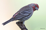 Back Yard Birds Framed Prints - House Finch Framed Print by Steve Javorsky