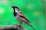 Usa Wildlife Prints - House Sparrow Print by Thomas R Fletcher