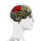 Human Brain, Parietal Lobe Print by Christian Darkin