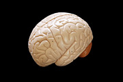 Healthcare And Medicine Metal Prints - Human Brain Metal Print by Richard Newstead