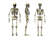 Frontal Bones Framed Prints - Human Skeleton Anatomy, Artwork Framed Print by Victor Habbick Visions