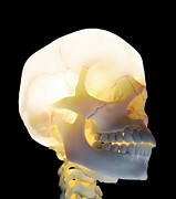 Biomedical Illustration Art - Human Skull, Artwork by Andrzej Wojcicki