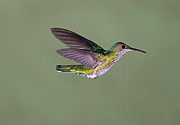 Colored Background Art - Hummingbird by David Tipling