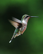 Birding Photos - Hummingbird in Flight by Jai Johnson