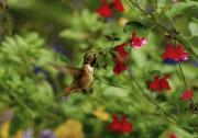 Hovering Prints - Hummingbird Print by Marc Bittan