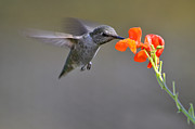 Laura Mountainspring - Hummingbird Seeking...
