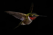 Richard Macquade - Hummingbird Series