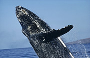 Whale Metal Prints - Humpback Whale Breaching Hawaii Metal Print by Flip Nicklin