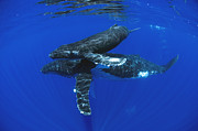 Featured Art - Humpback Whale Mother And Yearling Maui by Flip Nicklin