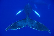 Whale Metal Prints - Humpback Whale Pair Maui Hawaii Metal Print by Flip Nicklin