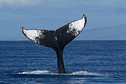 Whale Metal Prints - Humpback Whale Tail Lob Maui Hawaii Metal Print by Flip Nicklin