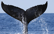 Whale Metal Prints - Humpback Whale Tail Maui Hawaii Metal Print by Flip Nicklin