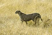 Cheetah Acrylic Prints - Hunting Cheetah Acrylic Print by Michele Burgess
