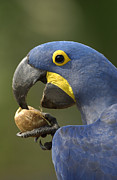 Hyacinth Macaw Anodorhynchus Print by Pete Oxford