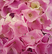 Close Up Floral Prints - Hydrangea Print by Kristin Kreet