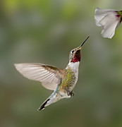 Ruby-throated Hummingbird Photos - I Can Taste You by Susan Candelario