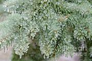 Ice On Branch Prints - Ice-coated Norway Spruce Print by Ted Kinsman