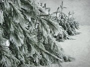 Fir Trees Photo Originals - Ice Storm by Sophie Vigneault