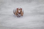 Sheep Prints - Icing on the Cape Print by Robin-Lee Vieira