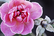Hoarfrost Framed Prints - Icy rose Framed Print by Elena Elisseeva
