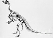 Two Tailed Photos - Iguanodon, Mesozoic Dinosaur by Science Source