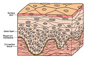 Basement Art Art - Illustration Of Stratified Squamous by Science Source