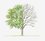 Plum Tree Posters - Illustration Showing Shape Of Prunus Cocomilia (italian Plum) Tree With Green Summer Foliage And Bare Winter Branches Poster by Dorling Kindersley