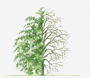 Tree Leaf Posters - Illustration Showing Shape Of Pyrus Nivalis (snow Pear) Tree, With Green Summer Foliage And Bare Winter Branches Poster by Dorling Kindersley