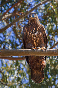 Immature Bald Eagle Print by Beth Sargent