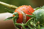 Immature Tomatoes Print by Sami Sarkis