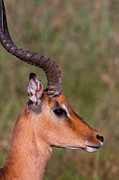 Fauna Posters - Impala Portrait Poster by Hein Welman