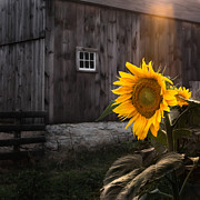 Flowers Sunflowers Barn Prints - In the Light Print by Bill  Wakeley