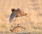 Prairie Chickens Prints - Incoming Print by Gerry Sibell