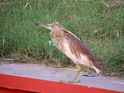 Heron Pyrography - Indian Pond Heron  by Ramesh Chand