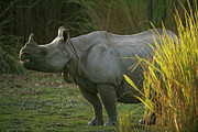 One Horned Rhino Photo Prints - Indian Rhinoceros Rhinoceros Unicornis Print by Theo Allofs