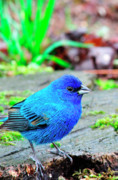 Sparrow Art - Indigo Bunting by Thomas R Fletcher